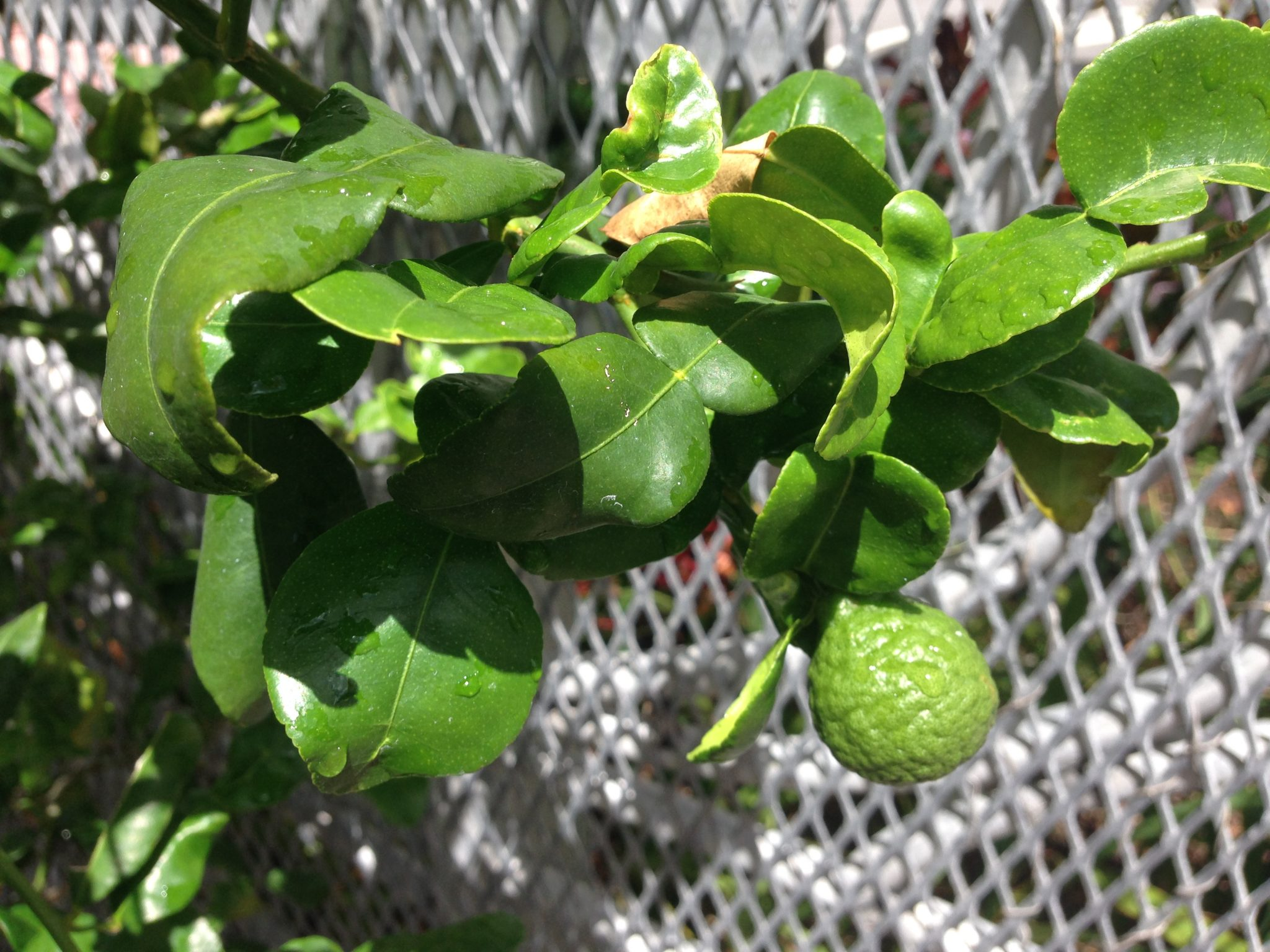 Kaffir lime tree leaves add authentic Thai flavors to curries, salads and stir fries